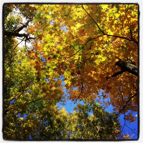 I love golden leaves against a bright blue sky.