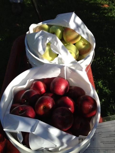 apples15